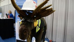 safety moose
