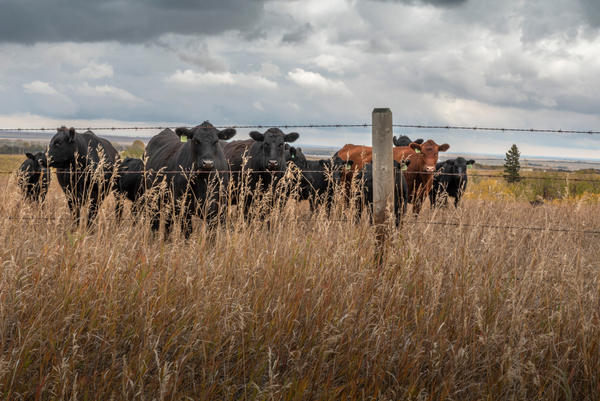 Alberta's UCP government considering private insurance for farms